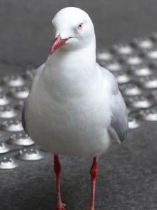 Silver Sea Gull