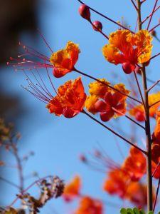 Flowers, Desert Hot Springs, Two Bunch Palms