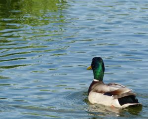 duck, Kensington Gardens, London, England